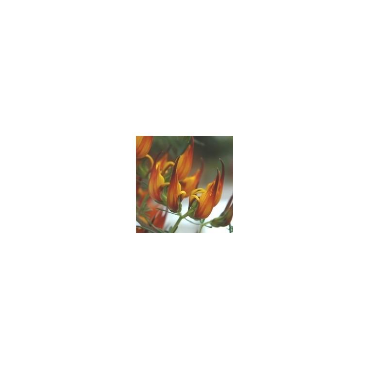 Lotus. La suspension diam 27 cm 253645