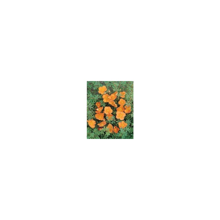 Potentilla Fruticosa Jaune – Pot de 5L 928235