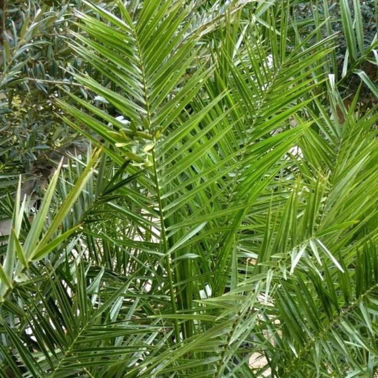 Phoenix Canariensis ou Dattier des Canaries 175/200 cm en pot de 35 L 883397