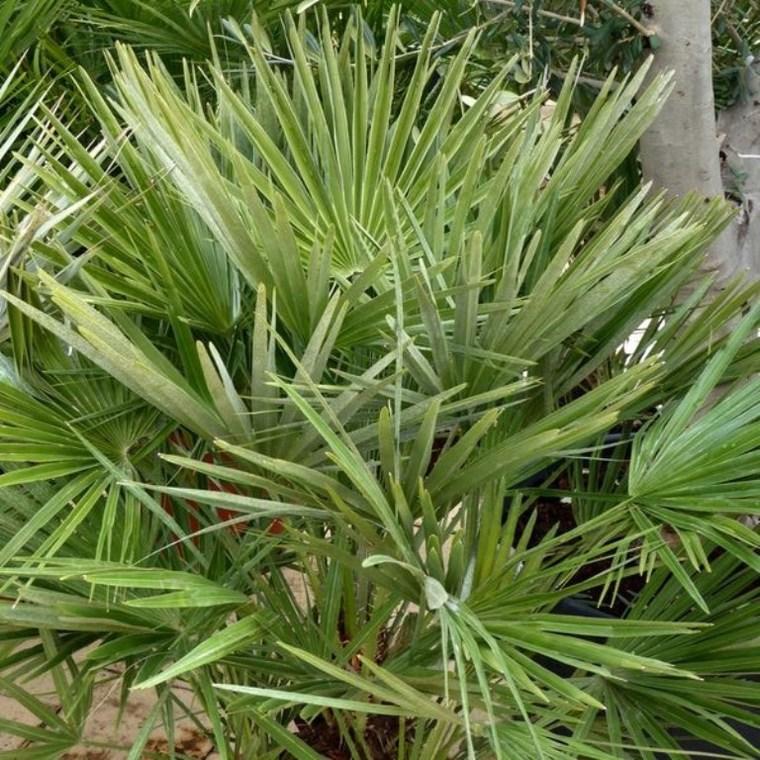 Chamaerops Humilis vert ou Palmier nain 80/100 cm en pot de 5 L 884755