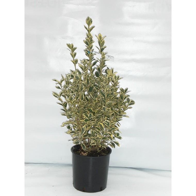 Euonymus Japonicus Bravo vert 40/60 cm en pot de 10 L 885101