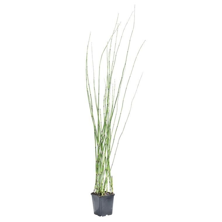 Equisetum japonicum pot de 3 litres 886364