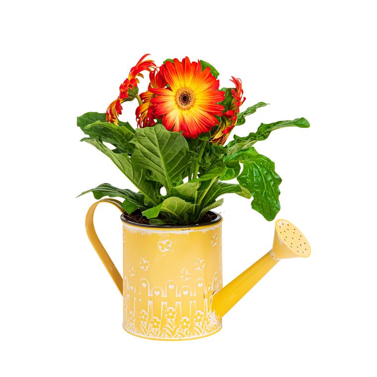 Gerbera 3-4 Fleurs 886824