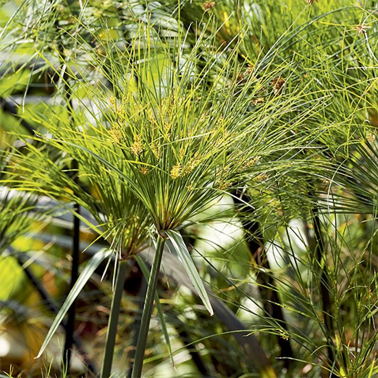 Cyperus papyrus botanic for Botanic com jardin