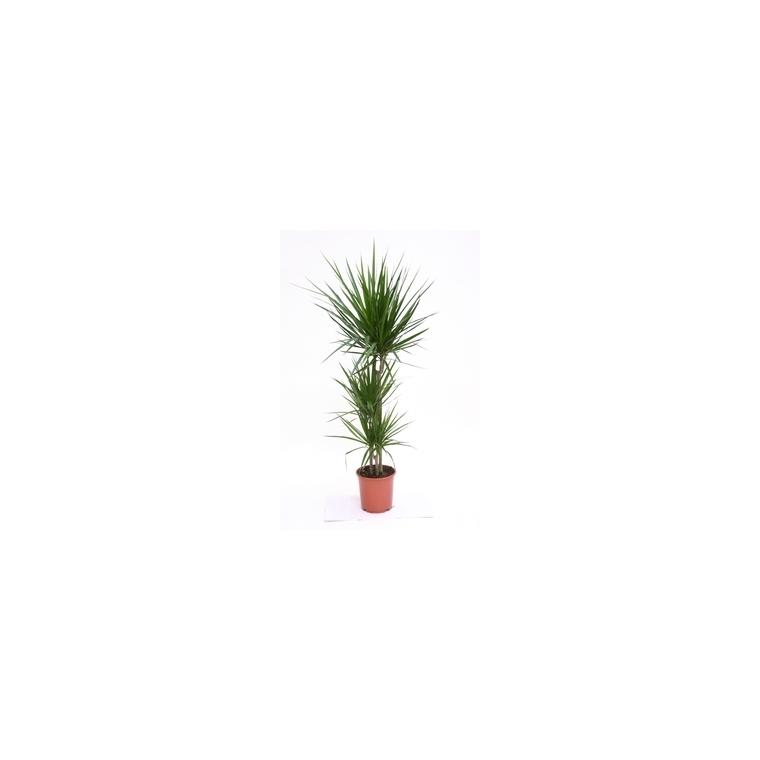 Dracaena marginata botanic - Entretien dracaena marginata ...