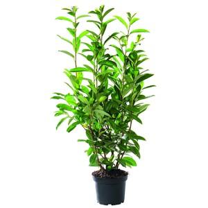 Laurier cerise Prunus Laurocerasus Caucasica pot de 5 L 80/100 cm 908152