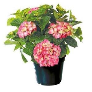 Hortensia à grandes fleurs en pot de 15 litres