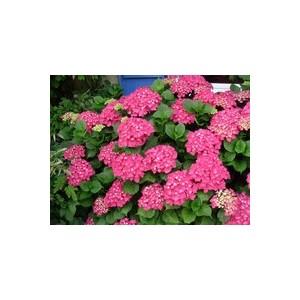 Hortensia à grande fleurs