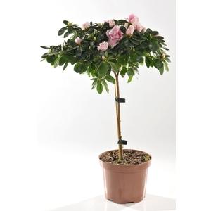 Azal e tige le pot de 13 cm plantes fleuries selection for Azalee interieur entretien