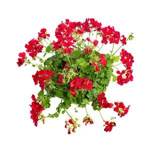 Géranium lierre à  fleurs doubles.Le pack de 6 plants