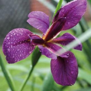 Iris des rives godet 9x9 cm