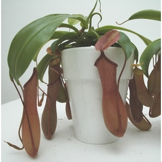 plante carnivore sarracenia plantes vertes maison botanic. Black Bedroom Furniture Sets. Home Design Ideas