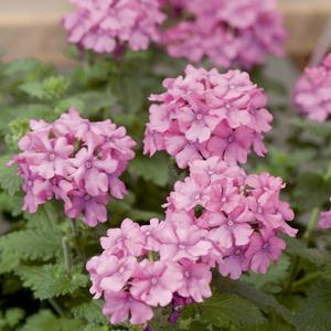 verveine retombante le pack de 6 plants plantes pour jardini res selection botanic balcon. Black Bedroom Furniture Sets. Home Design Ideas