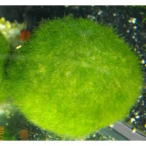Boule de Cladophora
