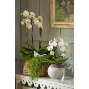 Orchidée Phalaenopsis 2 branches. Le pot de 12 cm