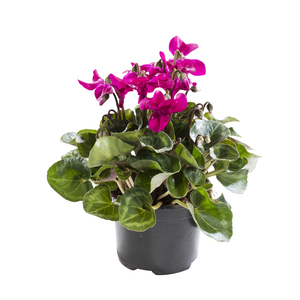 Mini Cyclamen. Le pot de 10.5 cm