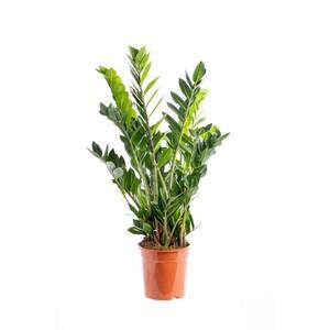 Zamioculcas lumi re sur la rustique et l gante plante for Recherche sur les plantes vertes