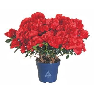 Azalée christine scarlata. Le pot de 15 cm