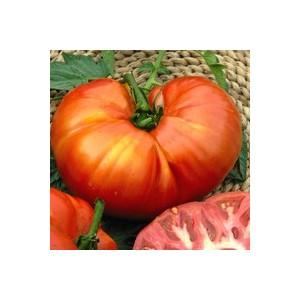 Tomate à fruits moyens Montfavet - barquette de 6 plants