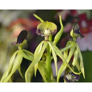 Orchidée Encyclia