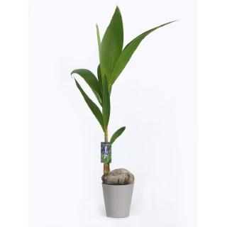coco nucifera avec cache pot botanic