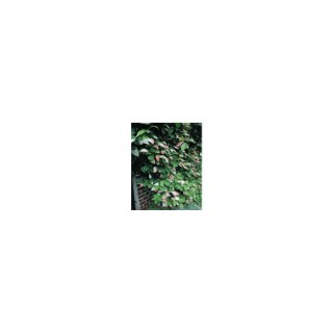 Actinidia Kolokmita sur échelle – Pot de 3L 810085
