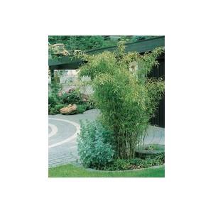 Bambou (BAMBOU PHYLLOSTACHYS BISSETI) Le pot de 18 litres 494240