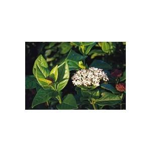 Pot de laurier-tin blanc viburnum tinus eve price 10 L 840783