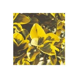 Euonymus variés. Le pot de 10,5 cm 963318