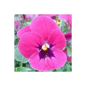 Pensée à grandes fleurs. La barquette de 6 plants