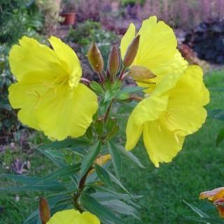 OENOTHERA missouriensis. Le pot de 9 x 9 cm
