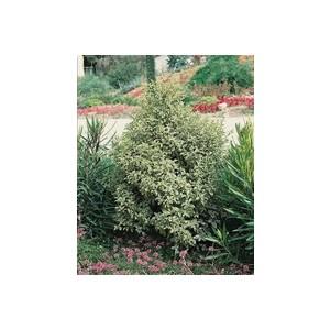 Pittosporum Tenuifolium blanc en pot de 3 litres 381971