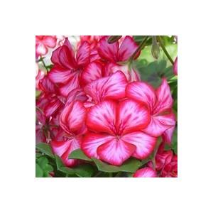Géranium lierre à grandes fleurs.Le pot de 1 litre