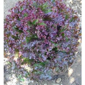 Laitue Lollo Rossa. La barquette de 12 plants 442513