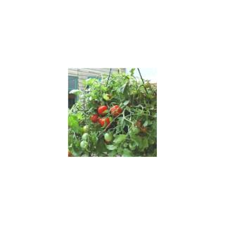 <p>Les tomates cocktail sont très appréciées lors des apéritifs, mais la Tomate Retombante Tumbling Tom Red en pot de 10,5cm est vraiment une variété exceptionnelle !</p>