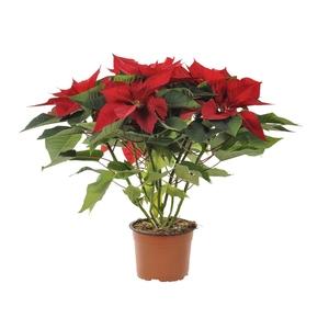 Poinsettia pailleté rouge en pot Ø 16 cm