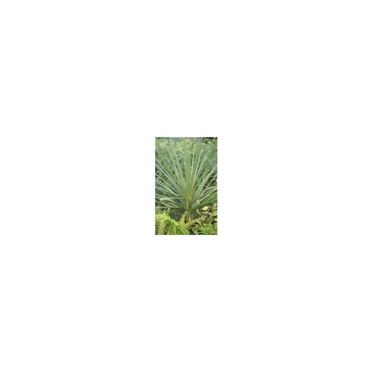 Cordyline Australis Purpurea rouge 60/90 cm en pot de 5 L 907535