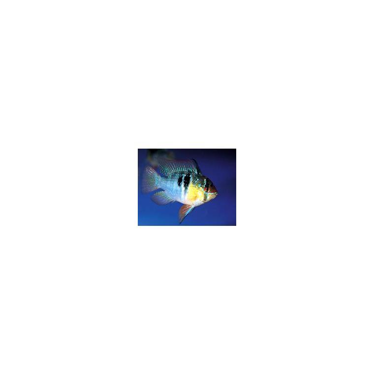 Mikrogeophagus ramirezi 937900