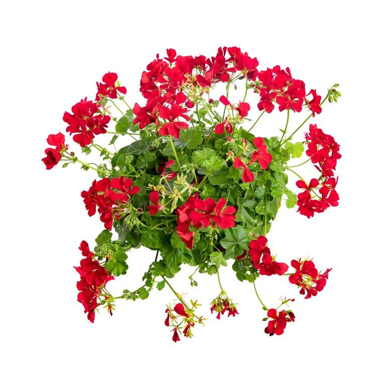 Géranium lierre double rouge. Le pack de 6 plants 916373