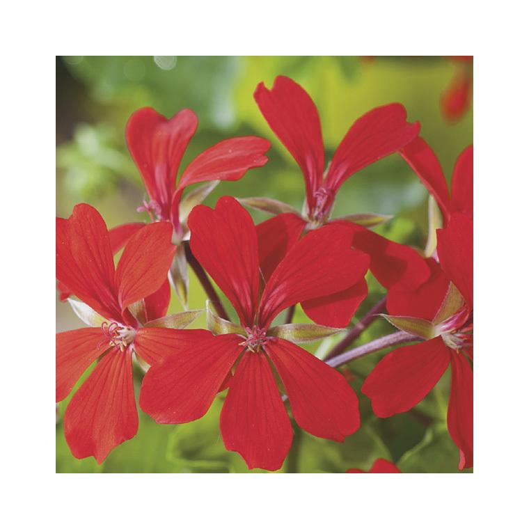 Géranium lierre simple rouge. Le pack de 6 plants 916394