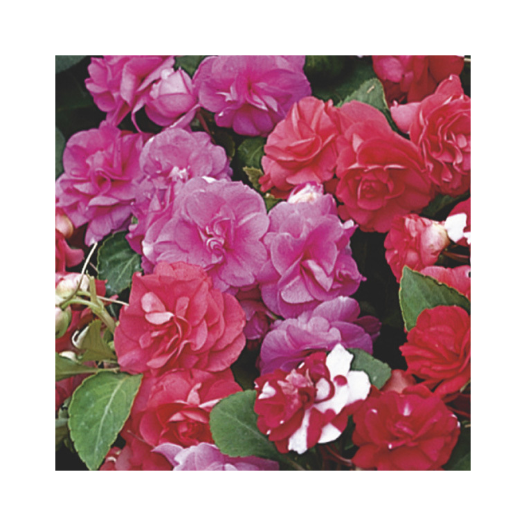 Impatiens double. Le pack de 6 plants 916432