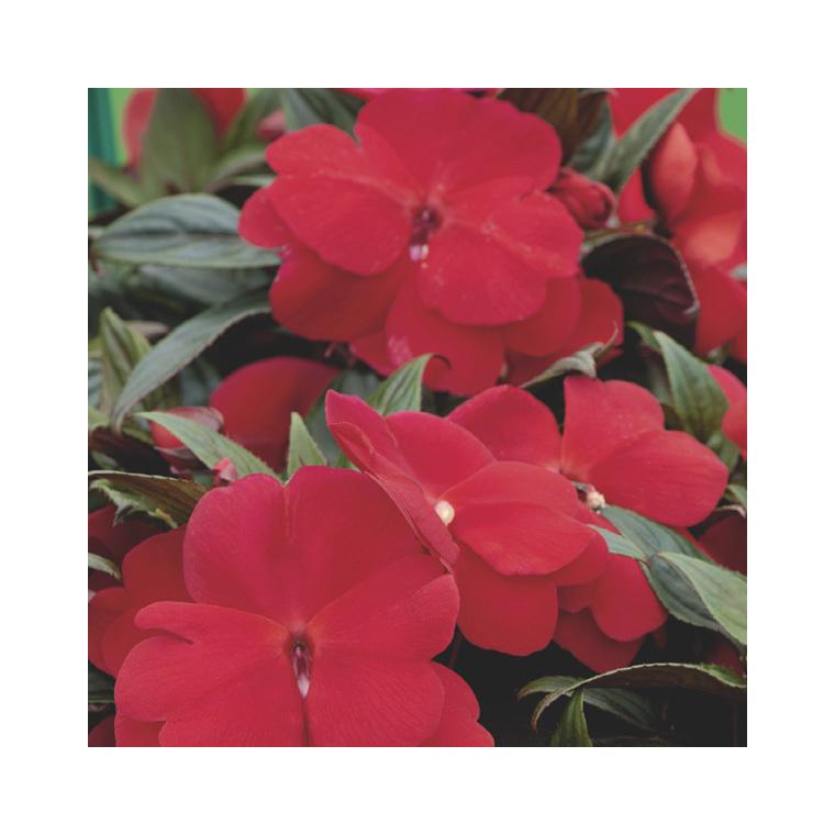 Impatiens de Nouvelle Guinée rouge orange. Le pack de 6 plants 916437