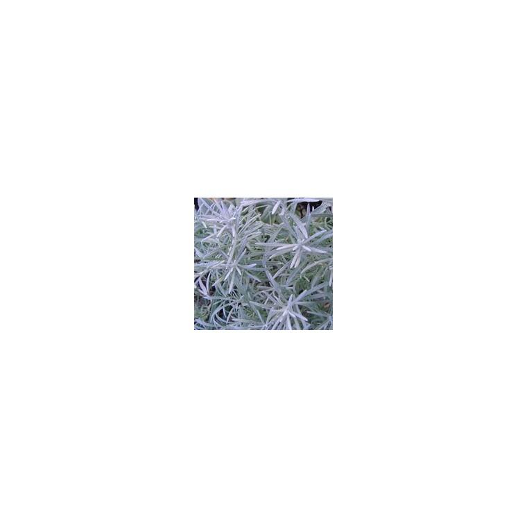 Helichrysum Italicum Weisses Wunder. Le pot de 1 litre 116036