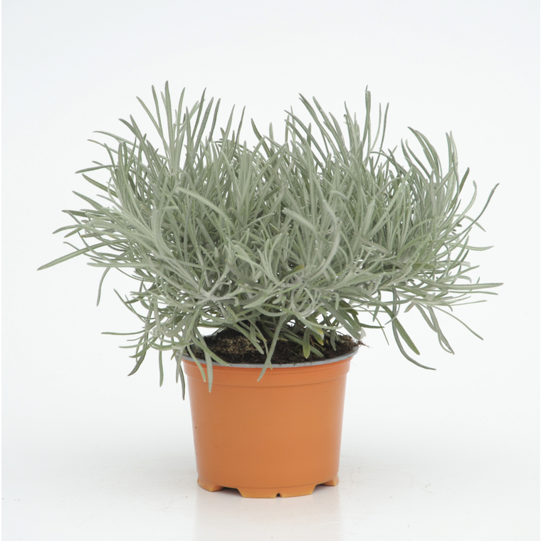Helichrysum Thianschanicum. Le pot diam 12 cm 923003