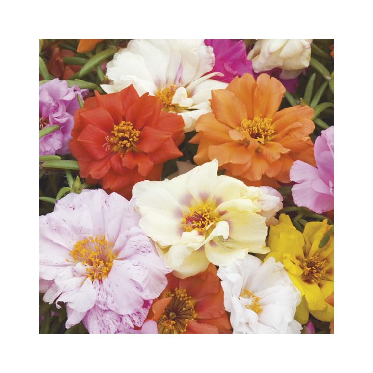 Pourpier à fleurs doubles. Le pack de 6 plants 923038