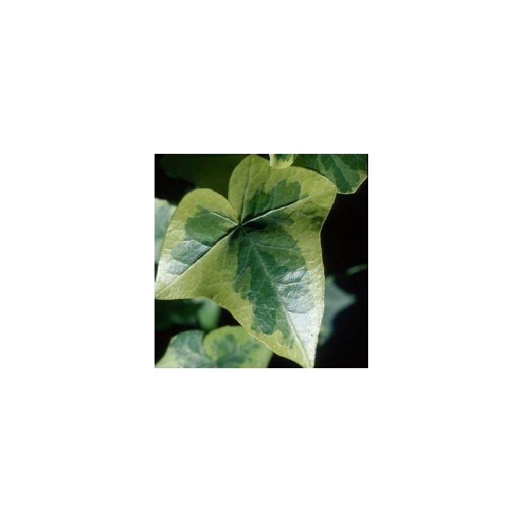 Lierre. Le pack de 6 plants 177161