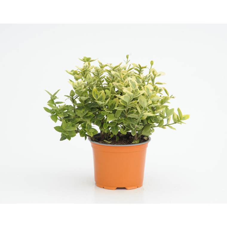 Euonymus Fort.Emerald'N Gold. Le pot de 1 litre 842759
