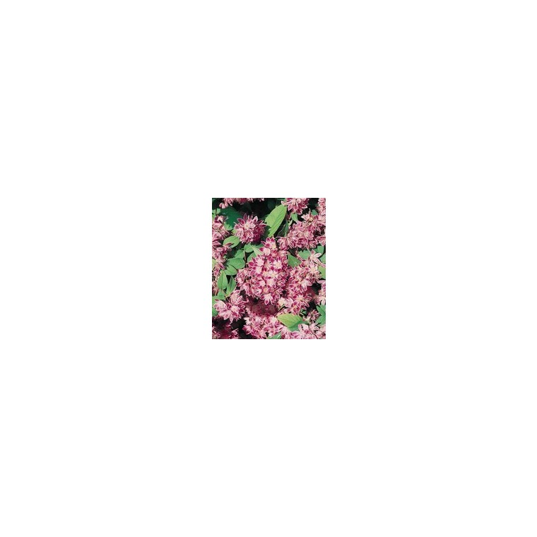 Deutzia Perle Rose – Pot de 5L 928179