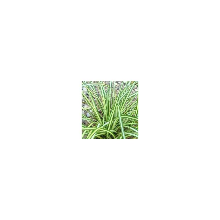Carex. Le pot de 2.5 litres 157763