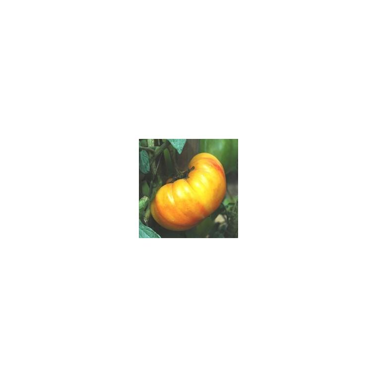 Tomate Côtelee Ananas bio. Le pot compostable de 10.5 cm 41525